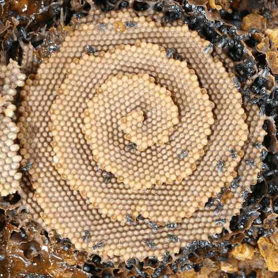 Stingless Bees: Is there such a species?