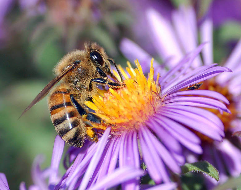 How Do Bees Find Nectar and Get It into the Hive?